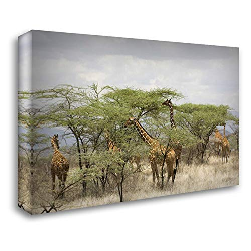 Kenya, Samburu Reserve Rothschild Giraffes 38x26 Gallery Wrapped Stretched Canvas Art by Kirkland, Dennis