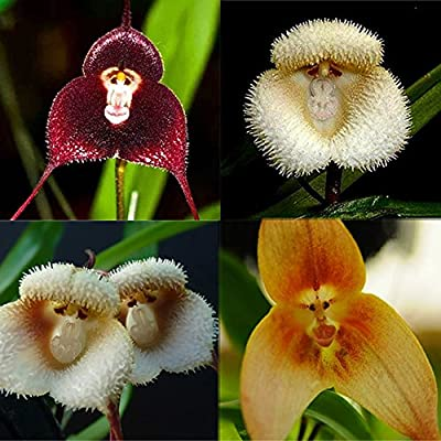 Nice 10 Pcs New Orchid Seeds Beautiful Plant Flower Garden Rare Monkey Face Hot : Garden & Outdoor