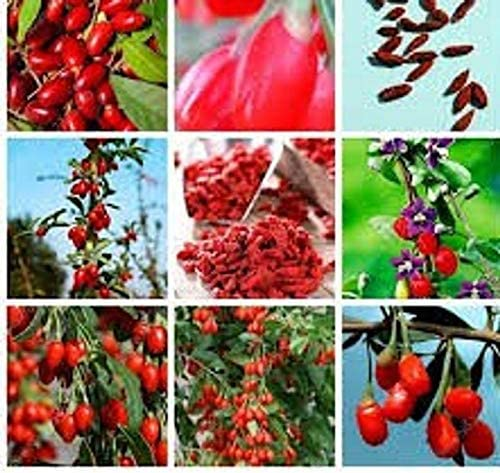 Amazon Com 50 Goji Berry Seeds Juicy Wolfberry Organic