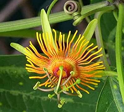 Very rare yellow passiflora passion perennial vine with variegated leaves10 seeds