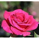 Rosa Patio Climbing Rose Gloriana  Plant
