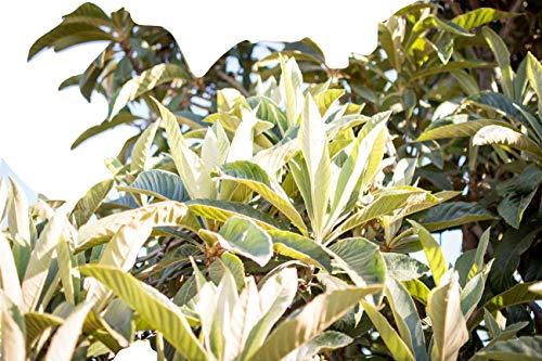 - Organic Fresh Loquat Leaves, Tea, Herbs, No GMO, South Florida USA, Qty of Leaves (25)