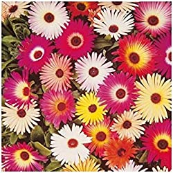 Zoomy Far: MESEMRYANTHEMUM Flower Seeds (AVG 30-50) Seeds X 2 Packet