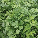 David's Garden Seeds Herb Parsley Giant of Italy SL2390 (Green) 500 Non-GMO, Heirloom Seeds