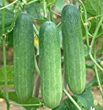 Kraft Seeds Cucumber F1 Hybrid Seeds with 100g Agropeat (Multicolour, 50 Pieces)