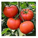 David's Garden Seeds Tomato Beefsteak Homestead SL0012 (Red) 50 Non-GMO, Organic, Heirloom Seeds