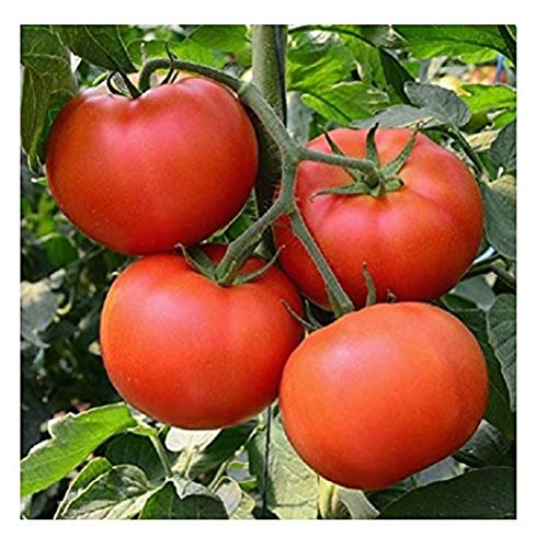 (David's Garden Seeds Tomato Beefsteak Homestead SL0012 (Red) 50 Non-GMO, Organic, Heirloom Seeds)