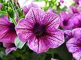 "Magenta Petunia ""Petunia Grandiflora"" 50 Seeds (small)"