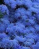 Ageratum Blue Flower Seeds (Ageratum Mexicanum Blue) (400)