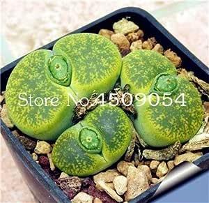 DaFFeng ?100Pcs Graines Lithops Pseudotruncatella Semilla De Planta Piedra En Maceta Rara Succulentes Semillas De Mezcla