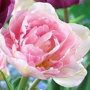 Tulipa Angelique - Tulip Angelique - 5 / Tulipa Angelique - Tulip Angelique - 5 bulbos