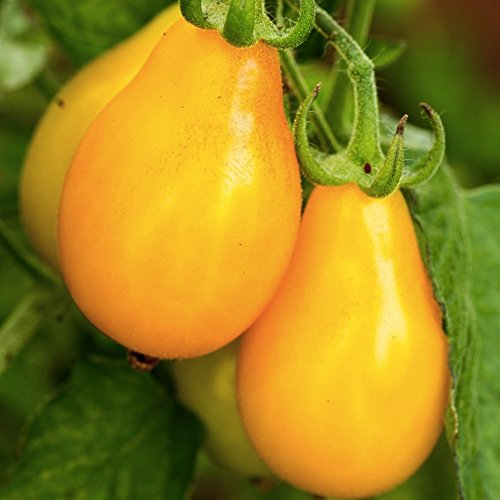 Organic Tomato 'Beam's Yellow Pear' (Lycopersicon Esculentumm Mill.) Vegetable Plant Seeds, Indeterminate ()