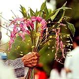 Tara-garden 1 RHIZOME GLOBBA WINITII PURPLE FLOWER STUNNING DANCING LADIED GIRLS GINGER RARE