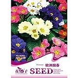 Bargain World Polyantha Victorian Laced Primula Primrose Mix Flower Pacific Giants