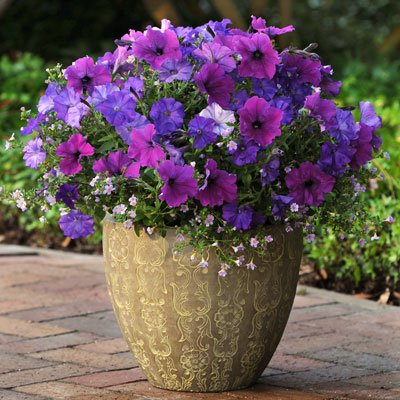Petunia & Bacopa - PLUG & PLAY Healing Waters Fuseables F1 - Petunia & Bacopa Flower Seeds Combo - 50 Seeds