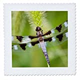 Danita Delimont - Dragonflies - Twelve-spotted Skimmer male perched on foxtail, Marion Co. IL - 8x8 inch quilt square (qs_209576_3)