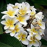 Heirloom 5 Seeds Plumeria alba Yellow White Flower Garden Frangipani Small Tree Shrub