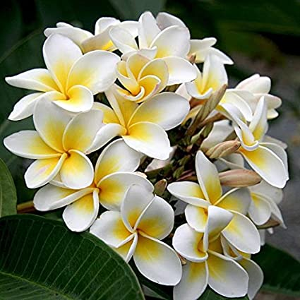 Amazon.com  Heirloom 5 Seeds Plumeria alba Yellow White