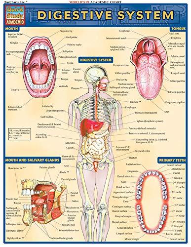 Digestive System (Quick Study -