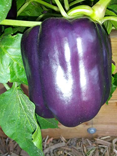 Pepper, Purple Beauty Pepper (Sweet Mild Bell Pepper) Capsicum Annuum -Organic Seeds (250 Seeds) by AchmadAnam