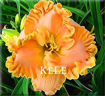 100 Pieces//Lot Hybrid Daylily Flowers Seeds Hemerocallis Lily Bonsai
