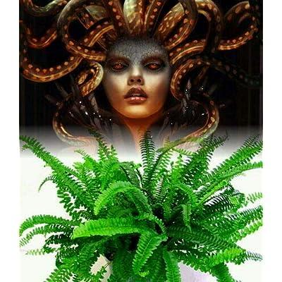 """AchmadAnam - 4"""" Pot - Rare Medusa Fern - Nephrolepis obliterata - Easy to Grow House Plant : Garden & Outdoor"""