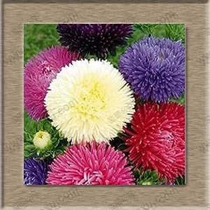 Colorful Aster seeds, callistephus chinensis seeds, chrysanthemum - 100 Seeds (Item No: 5)