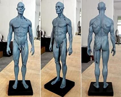 TT Dental nueva 30 cm de altura anatómica Anatomía Humana Modelo de ...