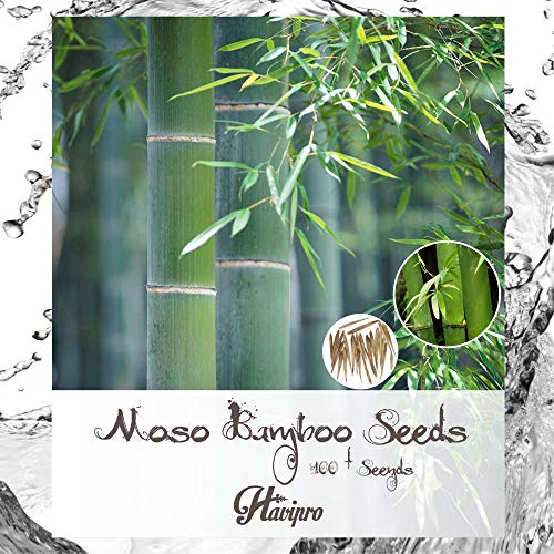 Moso Bamboo Seeds - Fresh Giant Bamboo Seeds for Planting - 100+ Seed - High Germination - DIY Bonsai Home Garden Yard Decor Seed by HAVIPRO (Giant Bamboo)