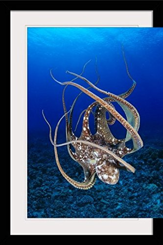GreatBIGCanvas ''Hawaii, Day Octopus Cyanea) Floating To Reef Bottom'' by Dave Fleetham Photographic Print with black Frame, 24'' X 36'''' by greatBIGcanvas