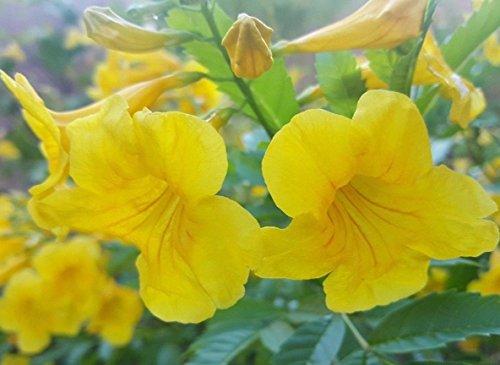 (Tecoma Stans Flower - (50 Seeds) Yellow Elder, Trumpet Bush (016))