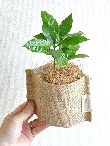 LAND PLANTS コーヒーの木(麻袋の鉢カバーセット)
