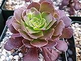 1 Starter Plant of Aeonium arboreum