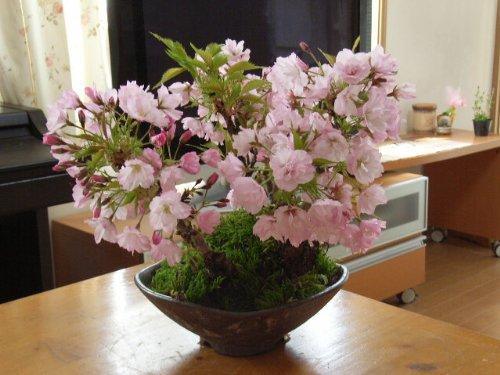 桜の盛り合わせ  桜盆栽 B0034HQ4LK