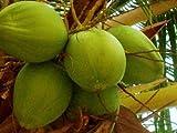 COCONUT (Green) hawaiian plant palm tree Cocos nucifera ready to pot,1 live SEED