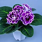 Rare Purple White Side Gloxinia Seeds Perennial Flowering Plants Sinningia Speciosa Bonsai Balcony Flower-100 PCS