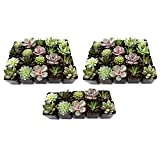 NW Wholesaler - Set of 50 Live Succulent Plants for Party Favors, Weddings, and Succulent Gardens