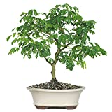 Brussel's Live Brazilian Rain Indoor Bonsai Tree - 6 Years Old; 10'' to 14'' Tall with Decorative Container