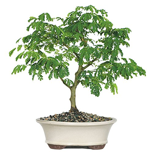 Brussel's Brazilian Rain Tree Bonsai - Large - (Indoor) (Large Bonsai)
