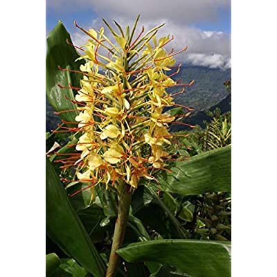 Hawaiian Yellow Kahili Ginger Plant Root (Pack of 5) Grow Hawaii: Grocery & Gourmet Food