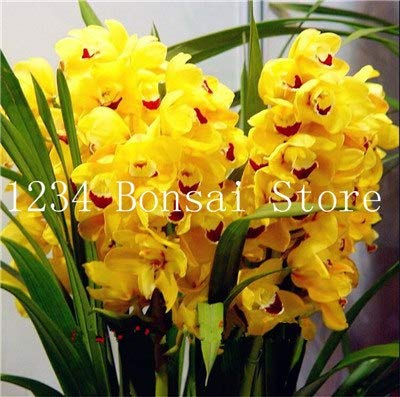 Sale!100 pcs Exotic cymbidium Flore,Rainbow Chinese cymbidium Orchid Flower,Indoor Seeds Potted orquideas Plant cicada -