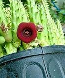 Huernia schneideriana ☆ Asclepiad Stapeliad Rare Red color plant exotic