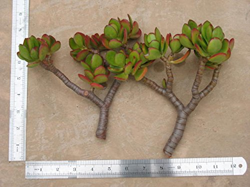 2 Large Jade Cuttings - Succulent - Crassula Ovata. Each Piece Is About 6 Inch High X 6 Inch Wide with a 1/2 Inch Diameter Stem. Great for Home and (Jade Stem)
