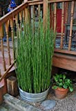 60 x Horsetail Reed Bamboo Looking Zen Garden & Pond Plants 3 foot tall