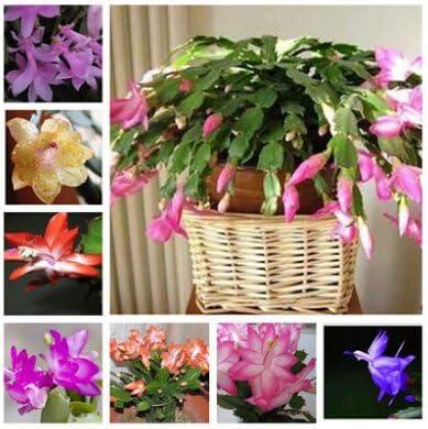 Zygocactus Truncatus Schlumbergera Bonsai Flowers Green Garden 100 PCS Seeds NEW