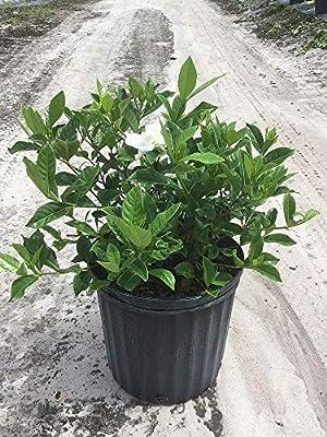 Amazon.com  PlantVine Gardenia jasminoides \u0027Veitchii\u0027, Cape