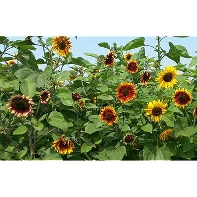 "Sunflower, Tiger's Eye, Tiger's Eye Sunflower, Helianthus annuus ""Tiger's Eye"", Asteraceae, Organic, GMO Free, Heirloom, 25 Seeds Per Pack : Garden & Outdoor"