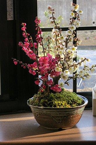 紅白梅盆栽