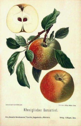 Impresión antigua ThePrintsCollector - Köeniglicher Kurzstiel - Apple - 1894