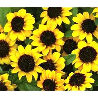 ZINNIA CREEPING Sanvitalia Procumbens - 2, 500 Bulk Seeds : Garden & Outdoor